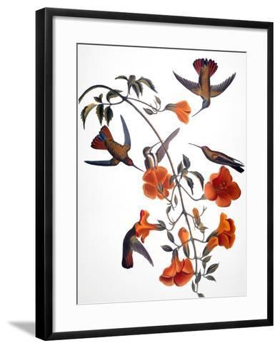 Audubon: Hummingbird-John James Audubon-Framed Art Print