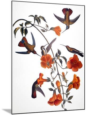 Audubon: Hummingbird-John James Audubon-Mounted Giclee Print