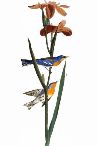 Audubon: Warbler, 1827-John James Audubon-Stretched Canvas Print