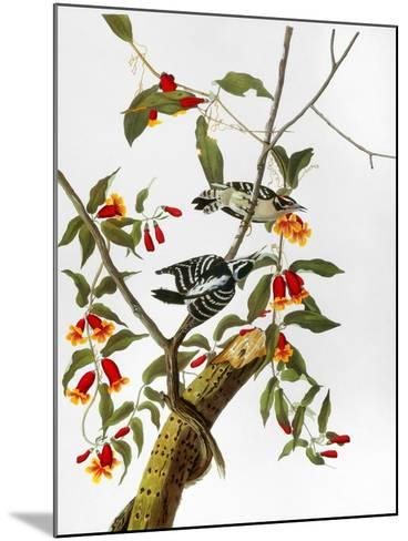 Audubon: Woodpecker, 1827-John James Audubon-Mounted Giclee Print
