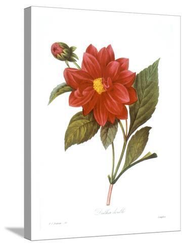 Dahlia (Dahlia Pinnata)--Stretched Canvas Print