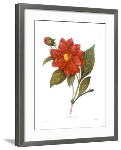 Dahlia (Dahlia Pinnata)--Framed Art Print