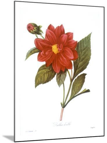 Dahlia (Dahlia Pinnata)--Mounted Giclee Print
