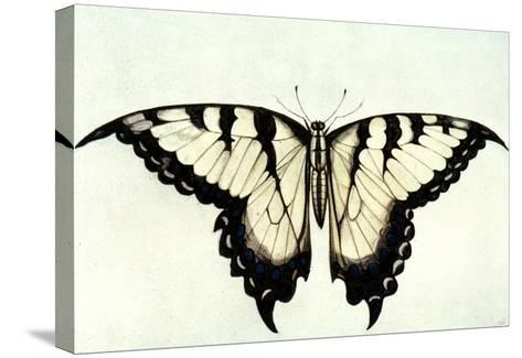 Swallow-Tail Butterfly-John White-Stretched Canvas Print