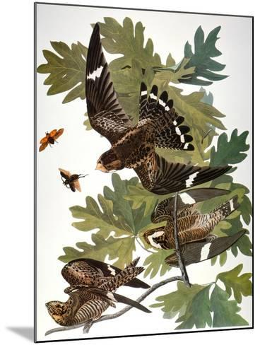 Audubon: Nighthawk-John James Audubon-Mounted Giclee Print