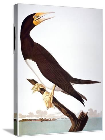 Audubon: Booby-John James Audubon-Stretched Canvas Print