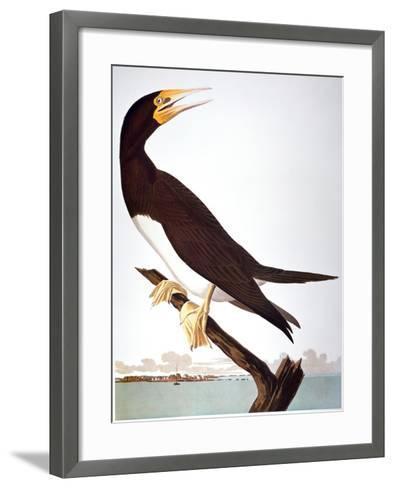 Audubon: Booby-John James Audubon-Framed Art Print