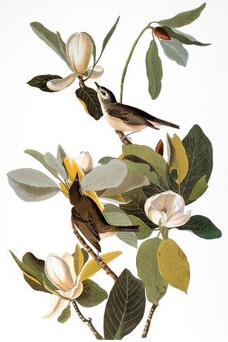 Audubon: Vireo-John James Audubon-Stretched Canvas Print