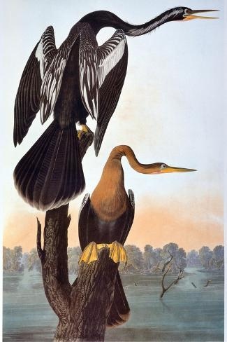Audubon: Anhinga-John James Audubon-Stretched Canvas Print