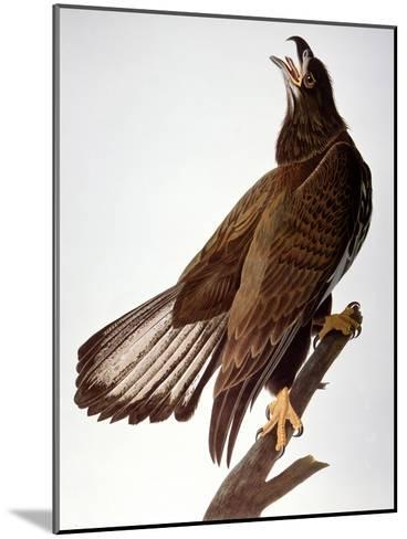 Audubon: Bald Eagle-John James Audubon-Mounted Giclee Print