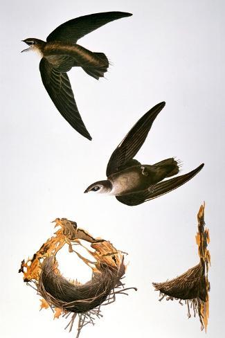 Audubon: Swift-John James Audubon-Stretched Canvas Print