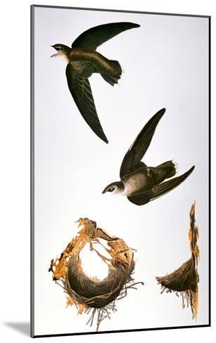 Audubon: Swift-John James Audubon-Mounted Giclee Print