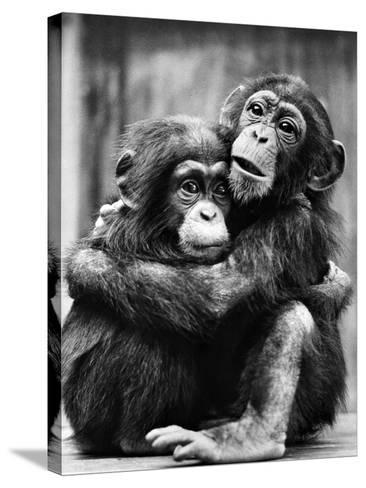 Young Chimpanzees--Stretched Canvas Print