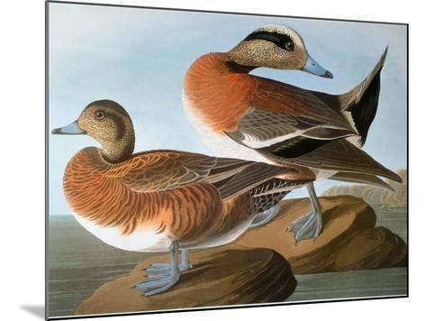 Audubon: Wigeon, 1827-38-John James Audubon-Mounted Giclee Print