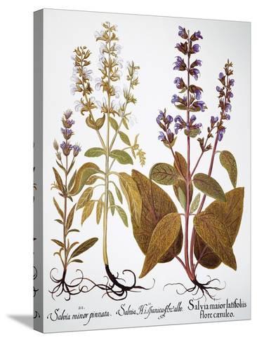 Sage, 1613-Besler Basilius-Stretched Canvas Print