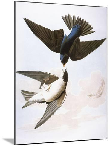 Audubon: Swallows, 1827-38-John James Audubon-Mounted Giclee Print