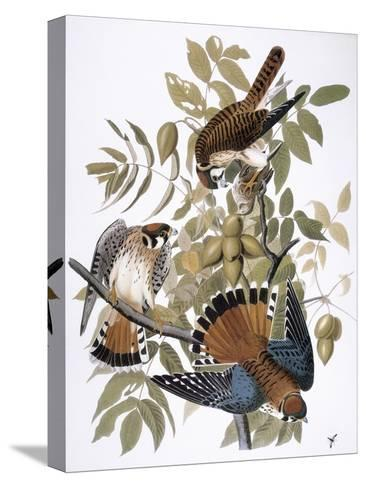 Audubon: Kestrel, 1827-John James Audubon-Stretched Canvas Print