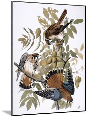 Audubon: Kestrel, 1827-John James Audubon-Mounted Giclee Print