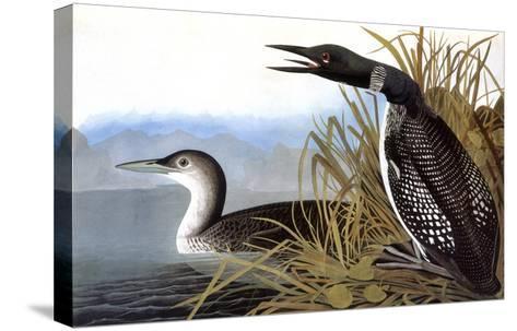 Audubon: Loon, 1827-John James Audubon-Stretched Canvas Print