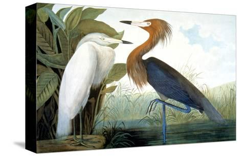 Reddish Egret,-John James Audubon-Stretched Canvas Print