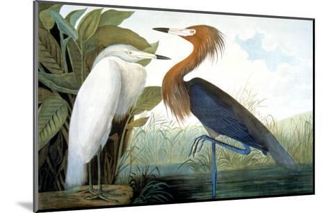 Reddish Egret,-John James Audubon-Mounted Giclee Print