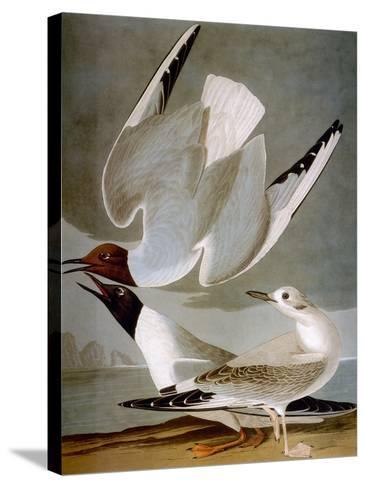 Audubon: Gull-John James Audubon-Stretched Canvas Print