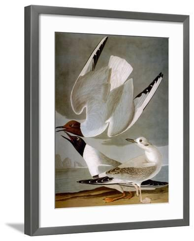 Audubon: Gull-John James Audubon-Framed Art Print