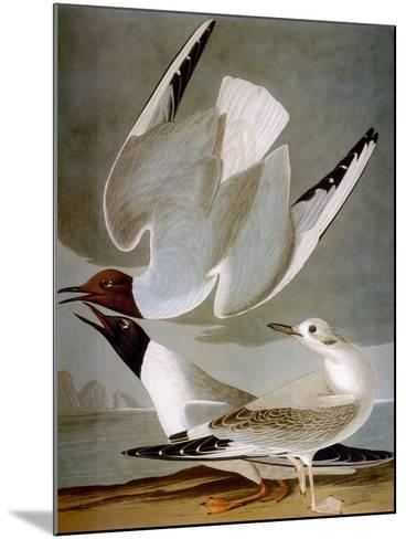 Audubon: Gull-John James Audubon-Mounted Giclee Print