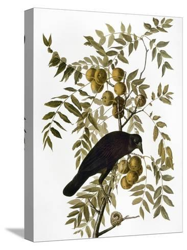 Audubon: Crow-John James Audubon-Stretched Canvas Print