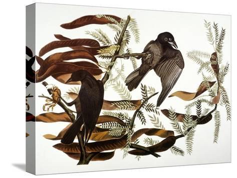 Audubon: Crow-John James Audubon-Stretched Canvas Print