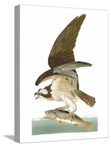 Audubon: Osprey-John James Audubon-Stretched Canvas Print