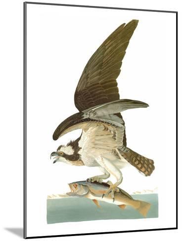Audubon: Osprey-John James Audubon-Mounted Giclee Print