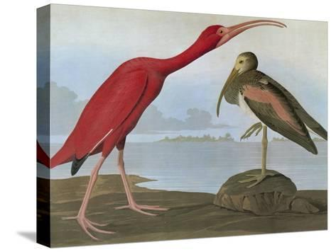 Audubon: Scarlet Ibis-John James Audubon-Stretched Canvas Print