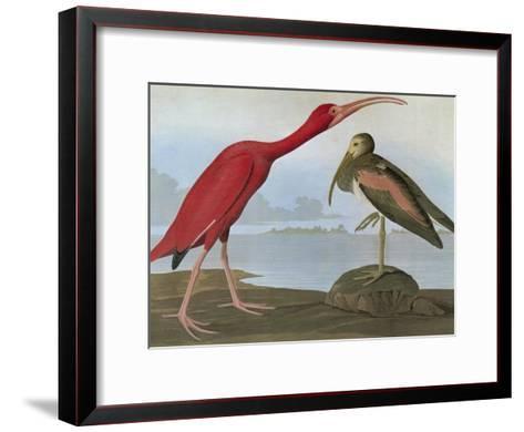 Audubon: Scarlet Ibis-John James Audubon-Framed Art Print