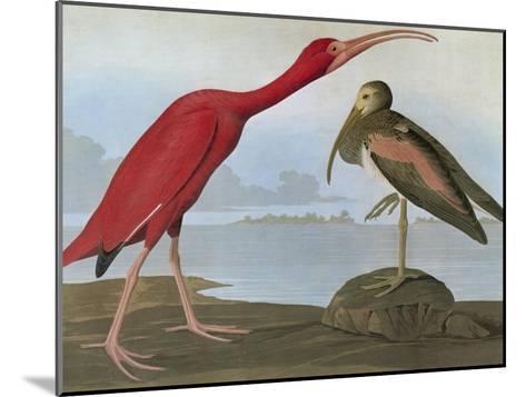 Audubon: Scarlet Ibis-John James Audubon-Mounted Giclee Print