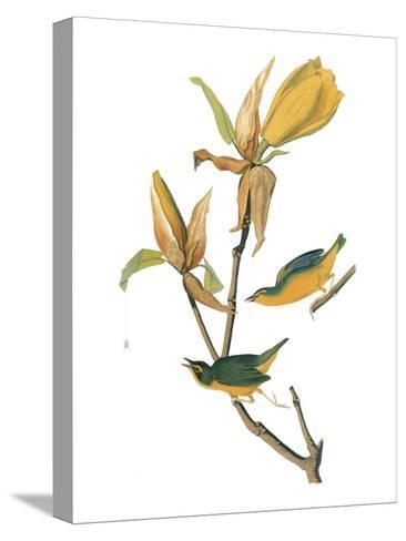 Audubon: Warbler-John James Audubon-Stretched Canvas Print