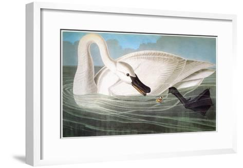 Audubon: Trumpeter Swan-John James Audubon-Framed Art Print