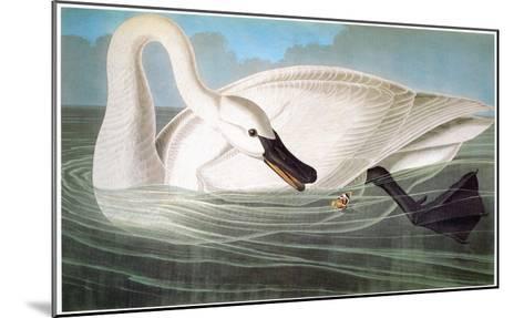 Audubon: Trumpeter Swan-John James Audubon-Mounted Giclee Print