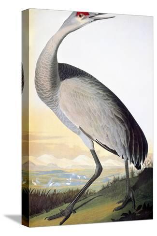 Audubon: Sandhill Crane-John James Audubon-Stretched Canvas Print