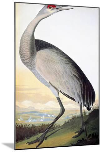 Audubon: Sandhill Crane-John James Audubon-Mounted Giclee Print