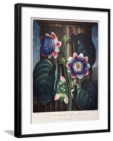 Thornton: Passion-Flower-James, The Elder Hopwood-Framed Art Print
