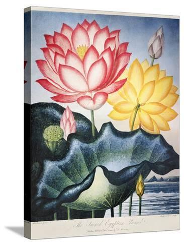 Thornton: Lotus Flower-Thomas Burke-Stretched Canvas Print