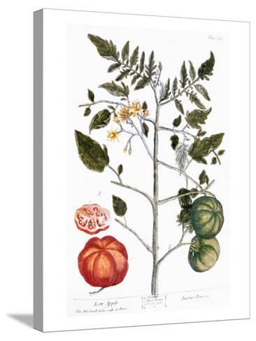 Tomato Plant, 1735-Elizabeth Blackwell-Stretched Canvas Print