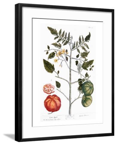 Tomato Plant, 1735-Elizabeth Blackwell-Framed Art Print