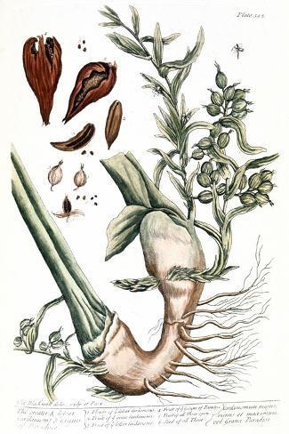 Cardamom, 1735-Elizabeth Blackwell-Stretched Canvas Print