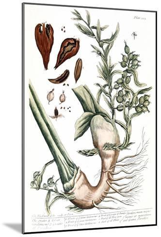 Cardamom, 1735-Elizabeth Blackwell-Mounted Giclee Print