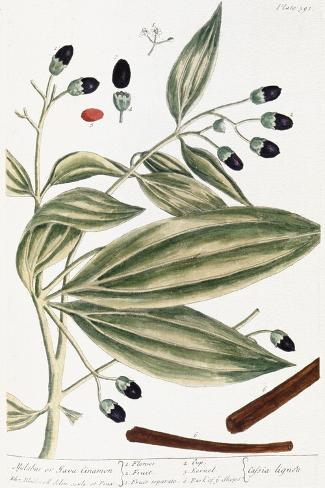 Malabar Cinnamon, 1735-Elizabeth Blackwell-Stretched Canvas Print