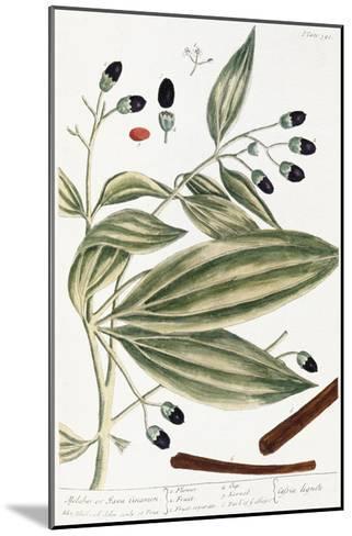Malabar Cinnamon, 1735-Elizabeth Blackwell-Mounted Giclee Print