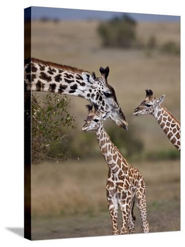Maasai Giraffe, Masai Mara, Kenya-Joe Restuccia III-Stretched Canvas Print