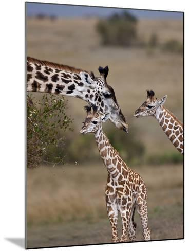 Maasai Giraffe, Masai Mara, Kenya-Joe Restuccia III-Mounted Photographic Print